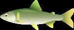令和3年度 小国漁協 鮎 1年券(※ご年齢を備考欄にお伝え下さい※クレジット決済不可!!)