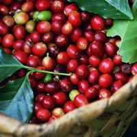 【ドミニカ ラミレス農園ナチュラル】 生豆220gを受注後焙煎【画像1】